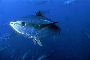 Atún rojo: en grave peligro de extinción, se están tomando medidas para reducir su pesca, ya que el boom del sushi ha puesto a este pez en la picota. La sobrepesca, ha reducido en un 85% su población en los últimos años, haciendo peligrar esta especie que era muy abundante en la década de los 60.