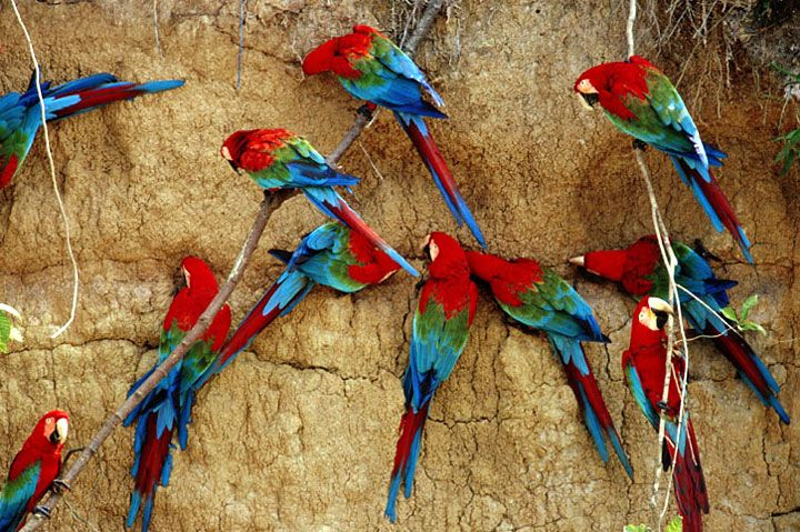 Macaws at Tambopata Candamo National Park #Peru #TravelGuide #LatinAmerica