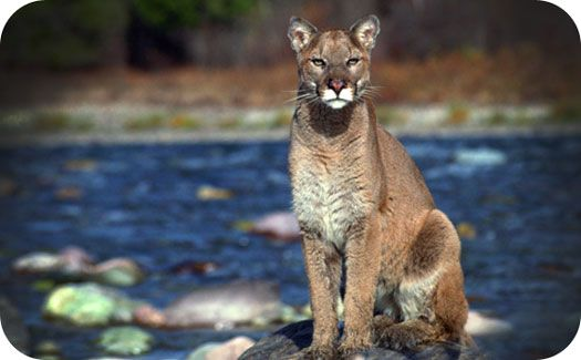 spirit lake cougars personals The spirit lake police department posted a video friday of a cougar wandering around someone's backyard thursday night.