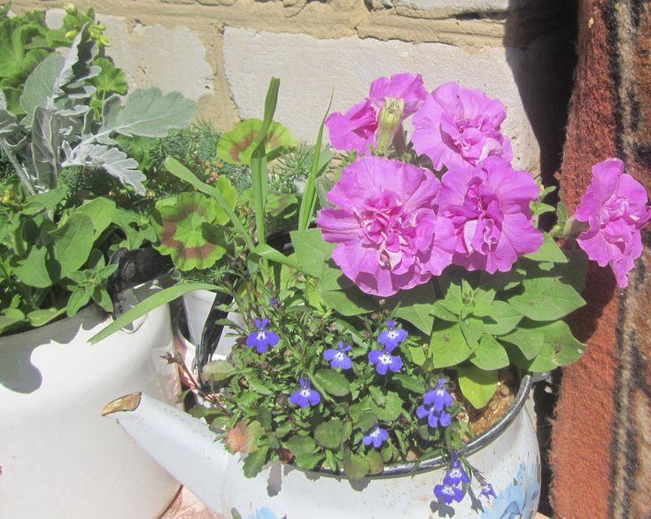 Петунья махровая крупноцветковая лавандовая серия Бархат фирма Цветущий сад и лобелия Кембридж фирма Гавриш.