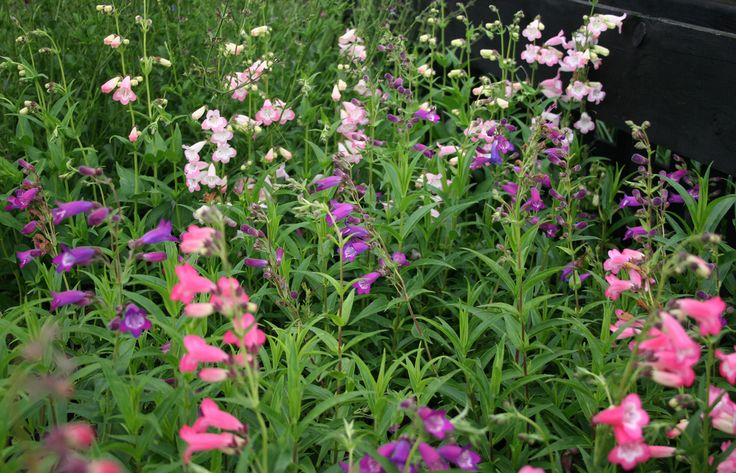 Beautiful Penstemon Volcano will flower throughout summern and into early autumn.