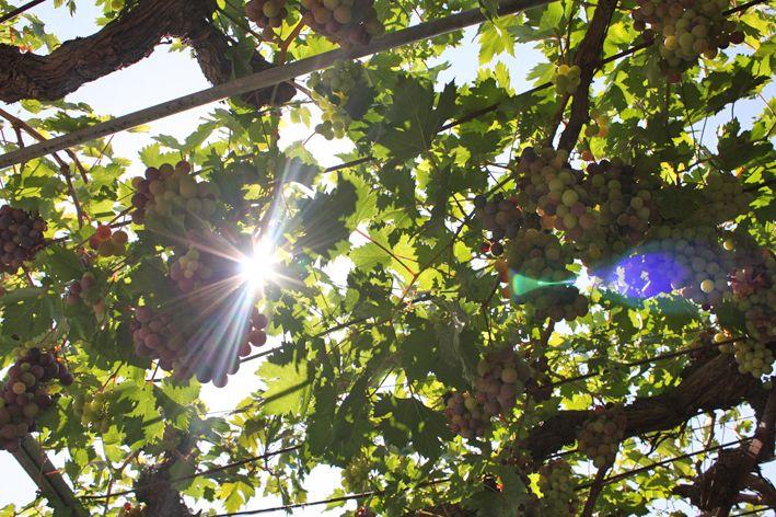 wine rank Lesvos - Greece  - 2013