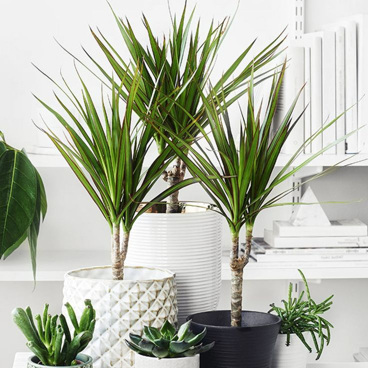 best 25 dracena marginata ideas on pinterest living room plants diy minimalist interior and. Black Bedroom Furniture Sets. Home Design Ideas