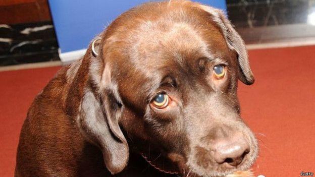 Allie Carter, de 25 años, salió a cazar aves acuáticas en el norte de Indiana y terminó la jornada con un disparo en el pie. Fue su perro, un labrador marrón de nombre Gatillo, el culpable del accidente.