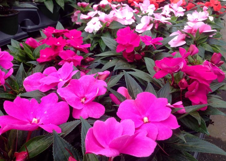 New Guinea Impatiens make a great shade flower and look lovely as a border. They are a great alternative to Impatiens.