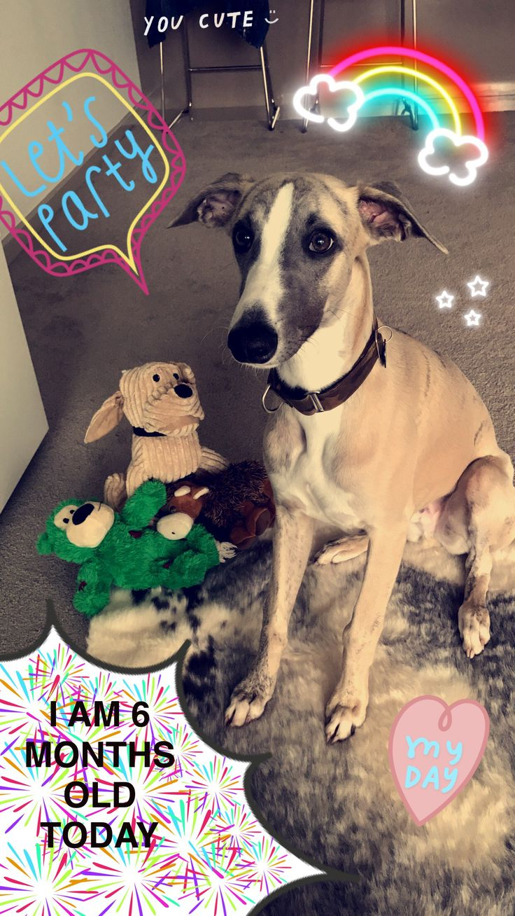 6 months old 🎂 #whippet #puppy #dogs