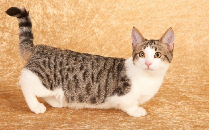 20 lustige Fakten, die Sie nicht über Munchkin-Katzen wussten   – Cat Breeds
