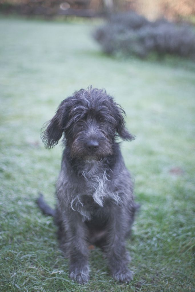 little dog | Wirehaired pointing griffon and Dog