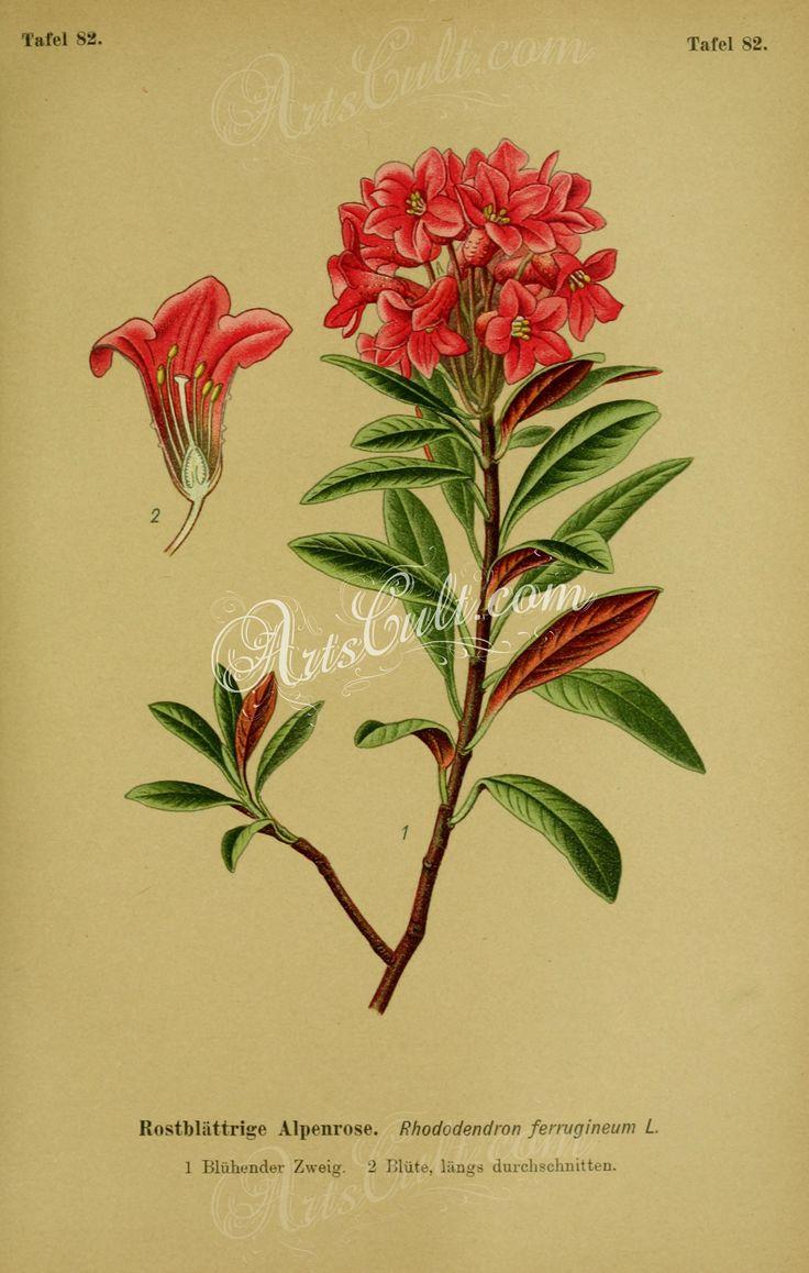 rhododendron ferrugineum      ...