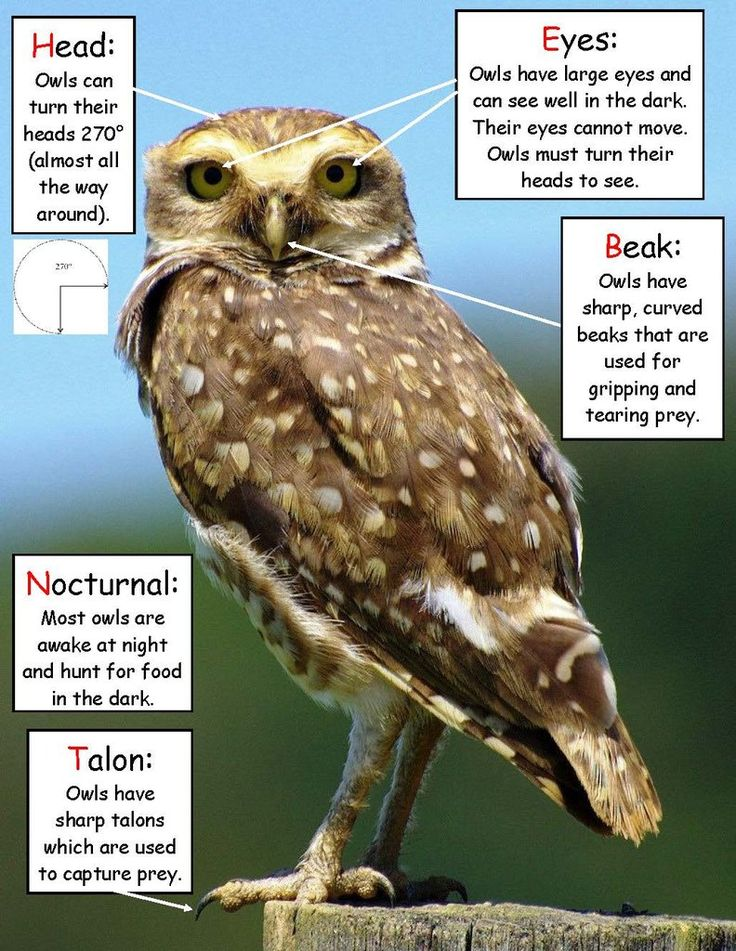 Science Activity - Owl Facts Inspired by Owl Babies