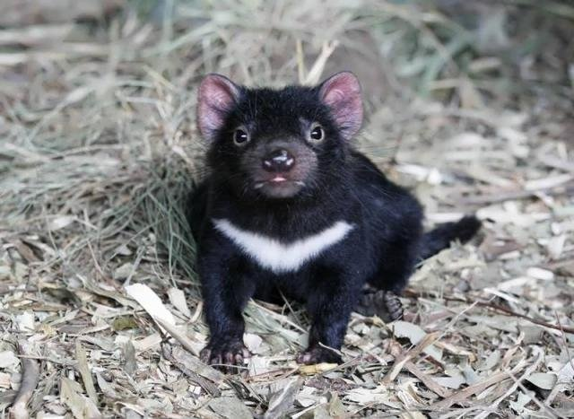 Thanks to #bonorong wildlife sanctuary in #tasmania for this little devil