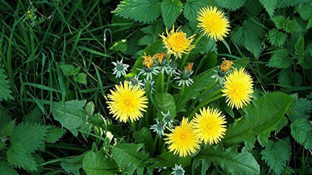 Click on the link to find out why Grandma says drizzle and rain keep dandelions at bay! http://atlantic.ctvnews.ca/ctv-news-at-5/weather-blog/drizzle-and-rain-keep-dandelions-at-bay-1.2382169