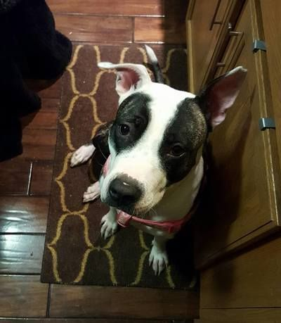 Pitbull Terrier Mix Adult • Female • Medium Gloversville, NY House trained • Spayed • Current on vaccinations