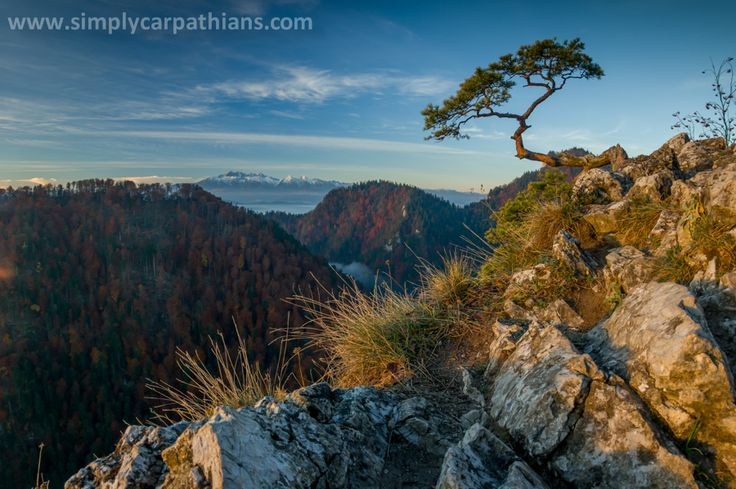 Famous pine on Sokolica, Pieniny Mountains.
