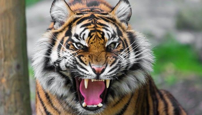 How To Survive A Tiger Attack--just in case...