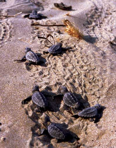Sea Turtle Nesting Habits and cautions for the Caribbean coast of Quintana Roo, Mexico