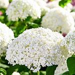 Incrediball Hydrangea On Sale At Spring Hill Nursery
