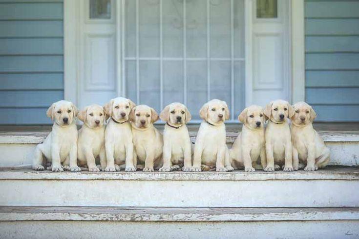 Labrador Retrievers in Arizona; Hunting dogs for sale; Labs for sale in AZ; Retrievers in Arizona