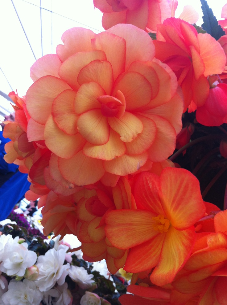 Begonia Arcada Series - Apricot bicolour.  Profuse bloomer with large, showy flowers.  Stunning foliage.
