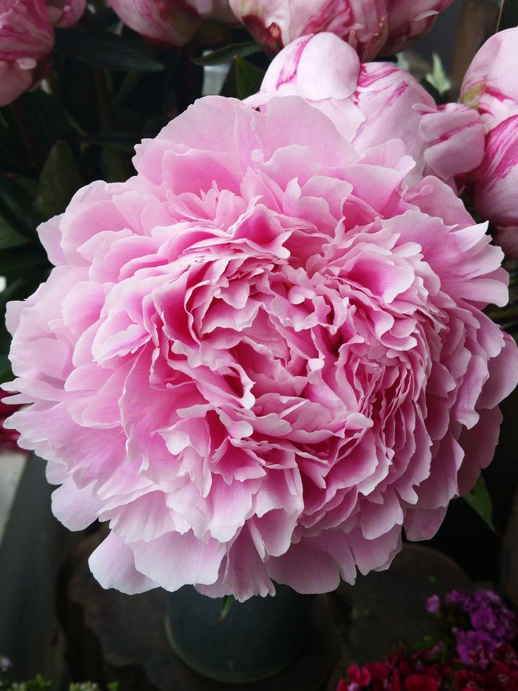 Sarah Bernhardt peony. Herbaceous peony