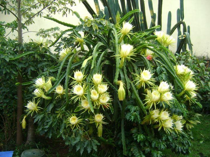 PITAIA   Pitaia é o nome dado ao fruto de várias espécies de cactos epífitos, sobretudo do género Hylocereus mas também Selenicereus, nativas do México.