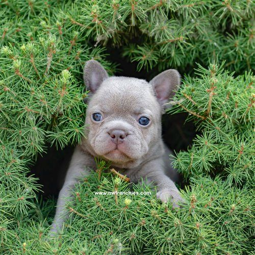 Lilac French Bulldog Nw Frenchies French Bulldog Breeders