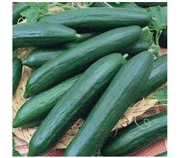 TENDERGREEN BURPLESS CUCUMBER - CERTIFIED ORGANIC - 55-65 days - The long, 8-10 inch, thin, dark green fruits are non-bitter, acid free and burpless! Resistant to downy mildew and powdery mildew. - PKT. - 60 seeds