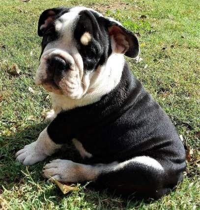 Rare Black Tri Akc English Bulldog Male For Sale New Yorkm
