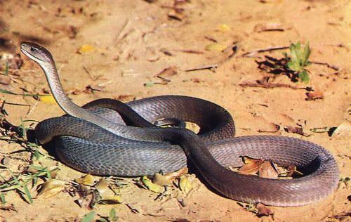 Cobra Mamba negra