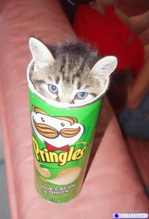 kitty in a pringles can!: Cats, Potatoes Chips, Kitty Cat, Pringles Kitty, Funny, Things, Kittens, Pringles Cans, Animal
