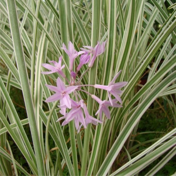 Gardenia Radicans Variegata: Tulbaghia Violacea Variegated. (Society Garlic