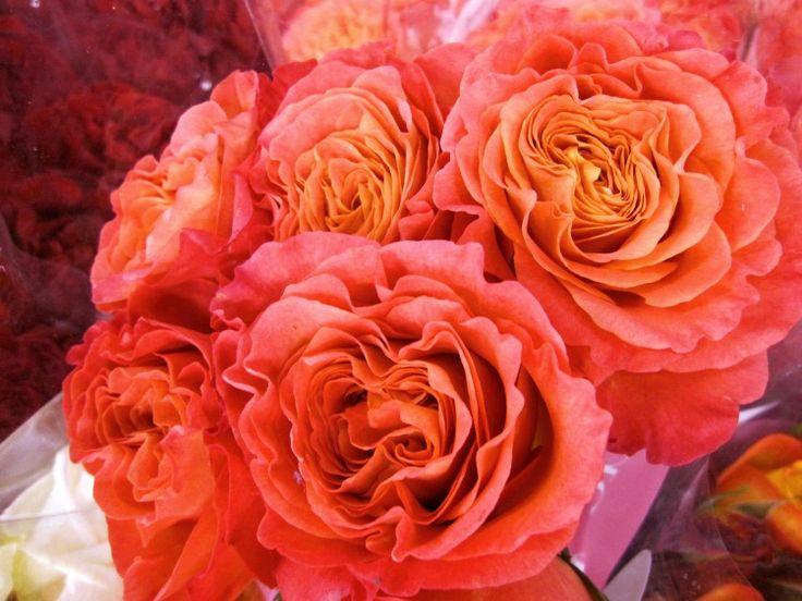 Coral Garden Rose 93 best flowers garden roses images on pinterest | garden roses