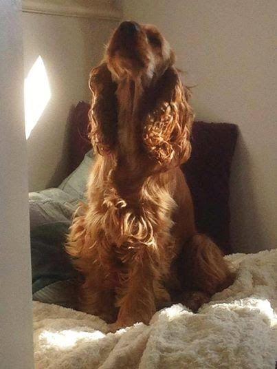 Lottie red golden English cocker spaniel Spaniel's Tail doggy yoga