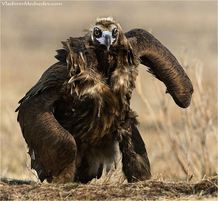 ♥ Just an eagle, out for a walk