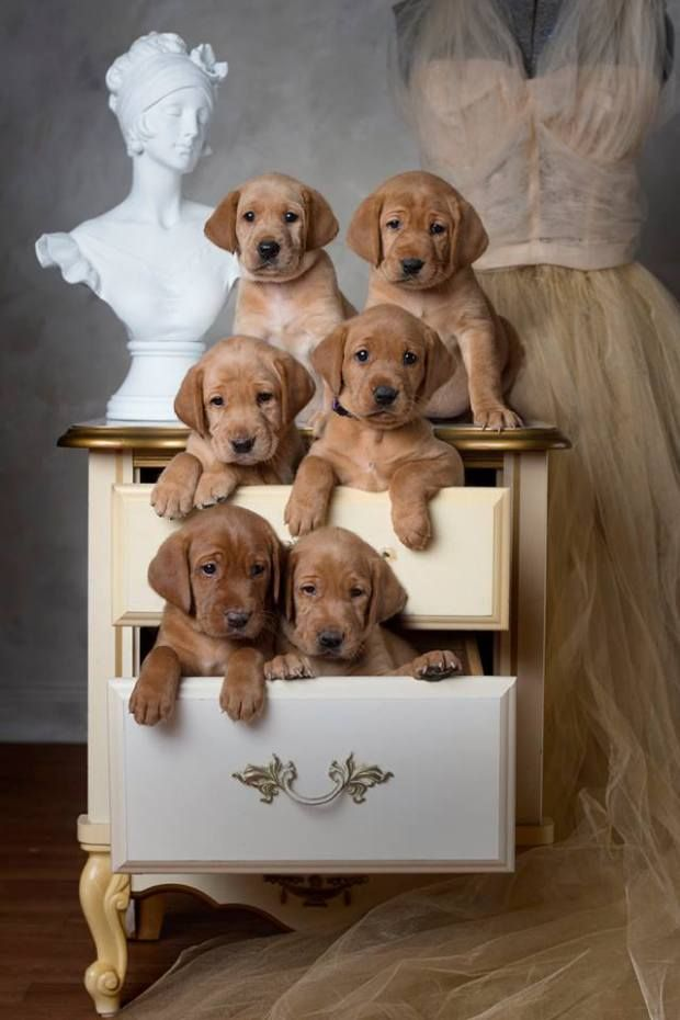 Roxy Manac 2018 Five Weeks Old Red Lab Puppies Cute Puppies