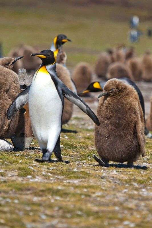 Naughty penguin. Falklands.