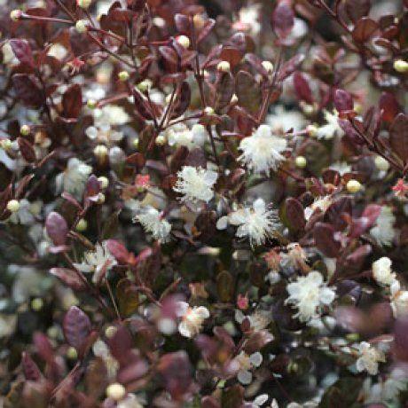 Lophomyrtus Red Dragon - NZ Myrtle | Southern Woods