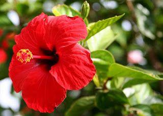 bunga kembang sepatu dan bagian-bagiannya,ciri ciri bunga kembang sepatu,klasifikasi bunga kembang sepatu,struktur morfologi bunga kembang sepatu,anatomi bunga kembang sepatu,morfologi bunga,