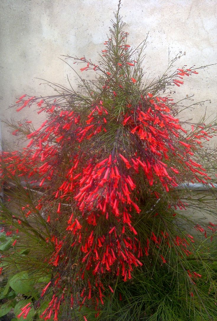 Firecracker-plant / Coral-plant: Russelia equisetiformis [Family: Plantaginaceae].