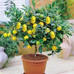 Growing meyer lemons indoors!