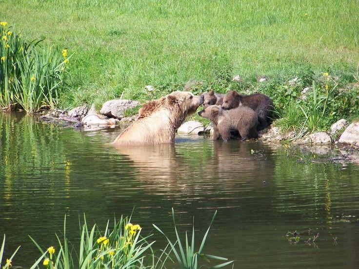 Anne ayı yavruları suya alıştırmaya çalışıyor..