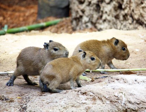 Baby Capybaras born in the rainforest at the Cleveland MetroParks Zoo. so cute. <3 <3 <3