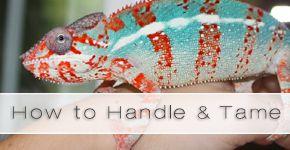 Great blog on Chameleon care