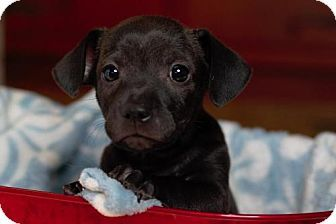 Rockville, MD - Chihuahua Mix. Meet Baby Bing, a puppy for adoption. http://www.adoptapet.com/pet/17348458-rockville-maryland-chihuahua-mix