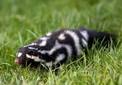 """Spotted Skunks Have Stinky Nipples, Just FYI - Of course everyone is familiar with the funny fellow, the skunk. Though, did you know that there were different species of skunk out there? Other than the striped skunk (the quintessential skunk which most of us think of) there is the Spotted Skunk (No, it doesn't have polka dots but the stripes are broken up, giving it a somewhat """"spotty"""" appearance."""
