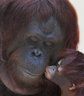 mama and baby: Orange, A Kiss, Mothers Day, The Kiss, Love You, Orangutan, Baby Animal, Pet Photo, Sweet Kiss