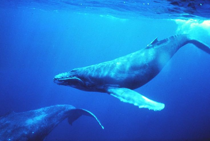 The haunting sound of humpback whales captured by the BBC. Listen to ...