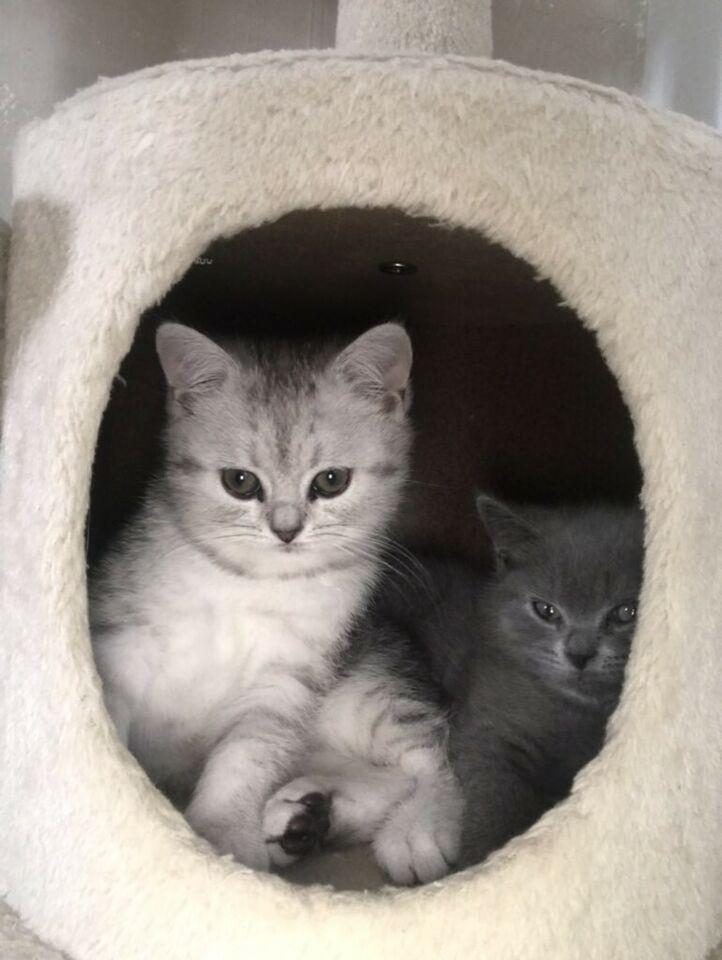 Bkh Kitten Abgabebereit In Nordrhein Westfalen Lohne Bkh Bkh Kitten Und Westfalen