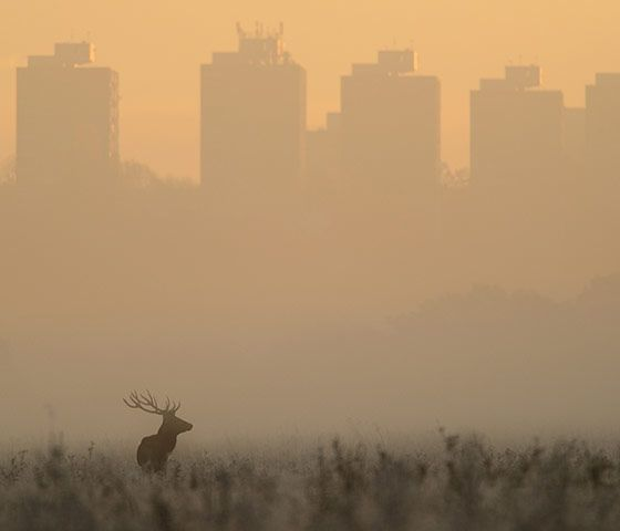 Red deer at sunrise by Richard Fisher