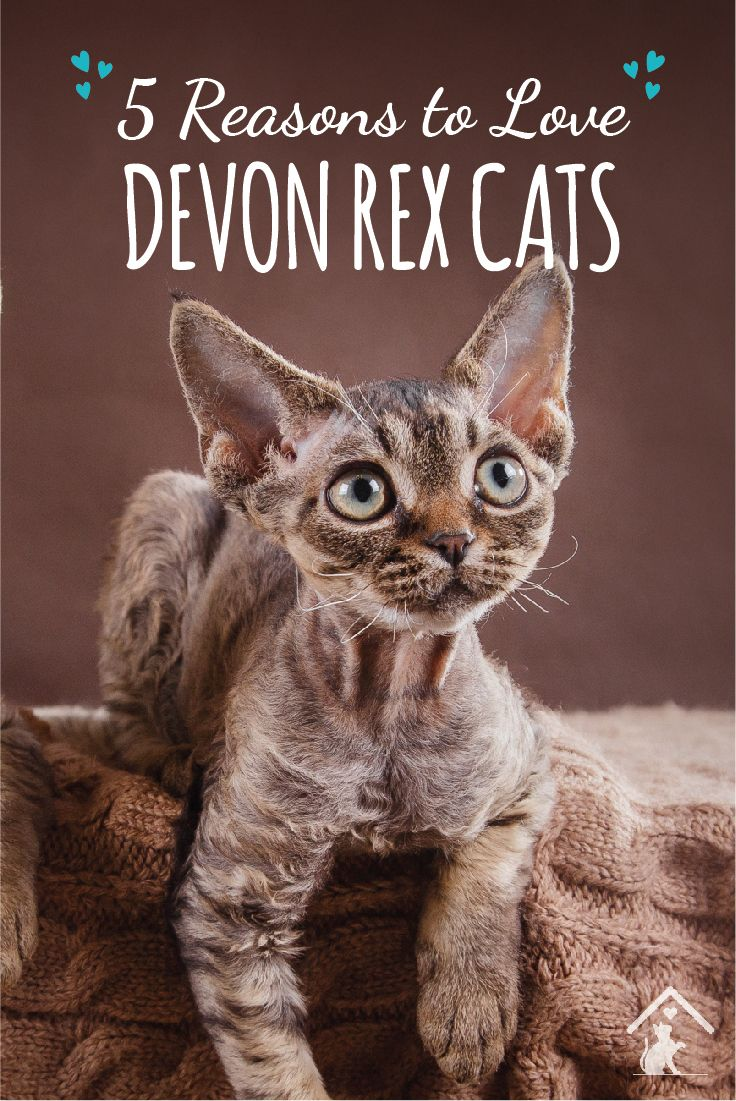 Click the pin to see why we love the Devon Rex cat breed! #catbreed #cutecat